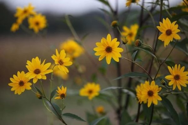 Consciously Living - Your NZ Wellness Directory - arnica flowers